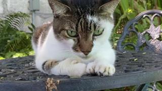 Đàn mèo 6 ngón chân thu hút khách khi tham quan nhà của Hemingway