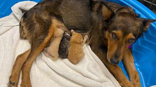 Chó mẹ cắn toạc tấm nệm tìm con đã chết, sự xuất hiện của 4 chú mèo đã 'viết nên cổ tích'