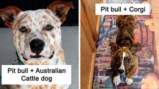 Pit bull cục súc là thế nhưng đem lai với 10 giống chó khác lại cho kết quả đẹp như mơ