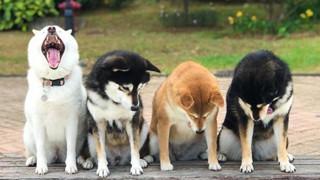 """Chú chó Shiba được mệnh danh """"vua phá sóng"""" mỗi lần chụp ảnh chung với hội anh em"""