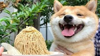 Chó Shiba nổi tiếng vì nụ cười tươi như mặt trời