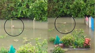 Cảm động chú chó bơi hơn 1 km trong nước lũ miền Trung để tìm chủ
