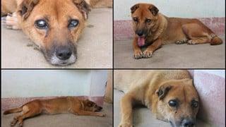 Cảm động chú chó Việt mù lòa vẫn nằm canh mộ chủ suốt 5 năm, cư dân mạng đồng loạt gọi chú là Hachiko Việt Nam