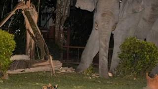 Choáng váng với hình ảnh boss mèo đuổi đánh một con voi đi vào nhà dân để tìm thức ăn