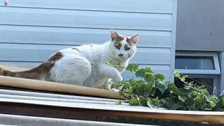 Siêu trộm mèo chuyên lấy... đồ lót từ nhà hàng xóm về tặng chủ