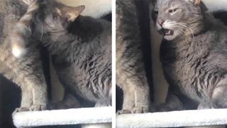 Khoa học Lý giải vì sao lũ mèo lại ngửi mông nhau