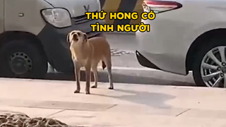 Chú chó bị triệt sản suốt 3 tháng đều đến sủa trước cửa phòng thú y