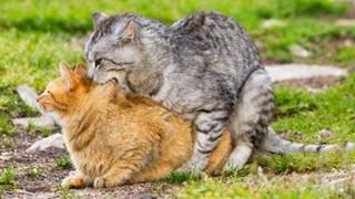 Bí mật thú vị đằng sau chuyện giao phối của loài mèo