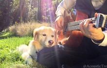 Chú chó chuyên nằm ngủ bên guitar Maple The Pup vừa qua đời ở tuổi 12