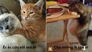 Bộ sưu tấp hình ảnh vui nhộn của những chú mèo khiến bạn phải cười mãi không thôi