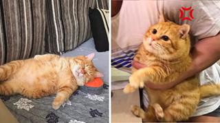 Gặp gỡ Xiang - Chiếc mèo mập với khuôn mặt luôn mệt mỏi với cuộc sống