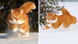 Gặp Ginger - 1 chiếc mèo béo mê nghịch tuyết
